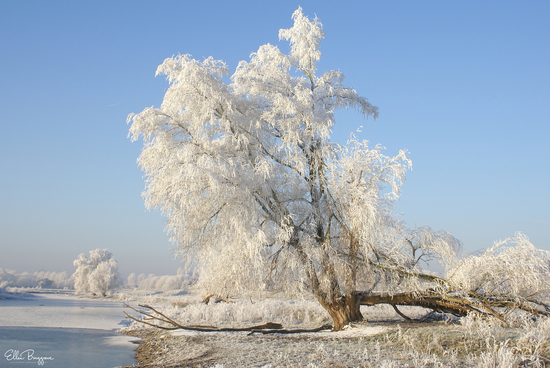Willow tree covered in hoar frost by a frozen-over lake