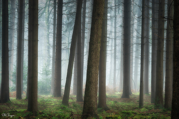 Rows of pine tree in a foggy forest