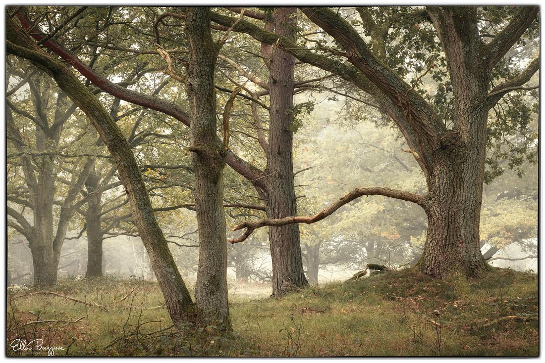 Old Oak Trees In Slight Mist