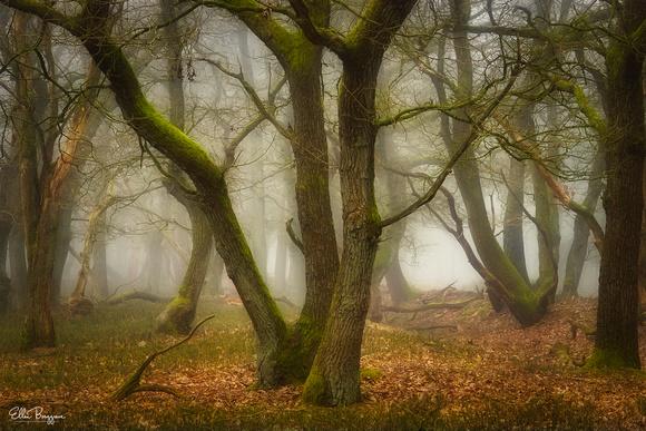 Oak trees in a misty forest