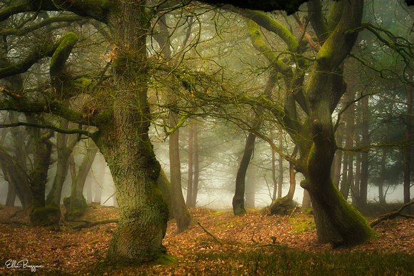 Oak Trees in a foggy forest