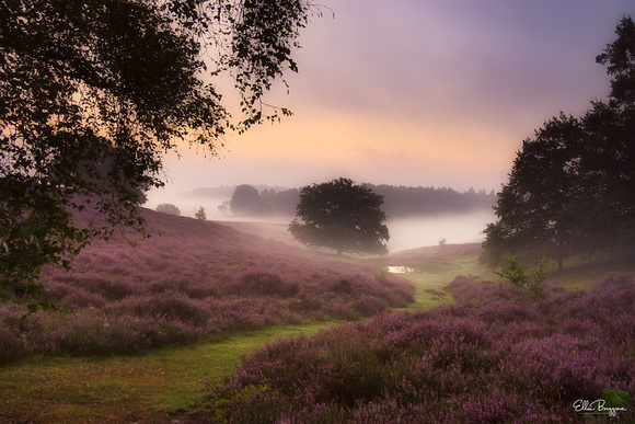 A tree standing next to a pond at a misty sunrise over the purple moor of the Posbank, The Netherlands