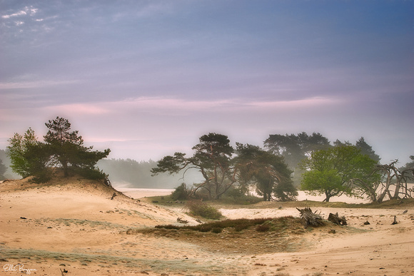 Trees standing on drifting sand in the soft morning light on the Veluwe, The Netherlands.
