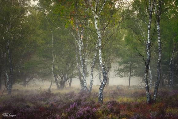 Moor Birches