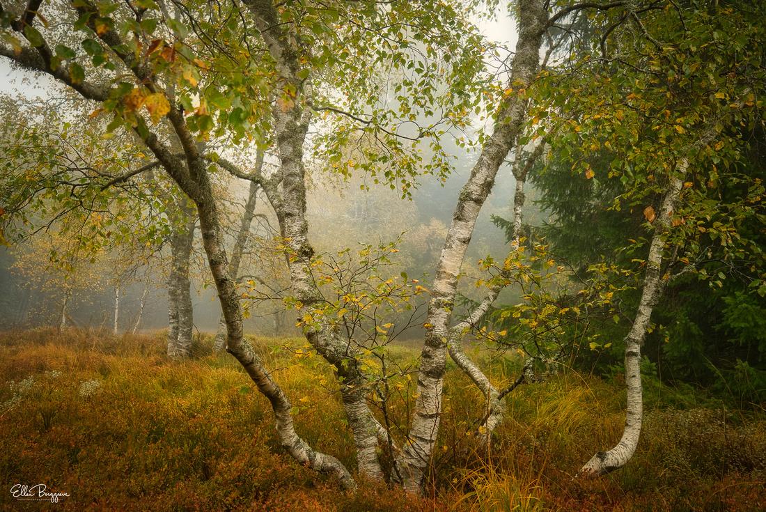 Birch In Autumn Atmosphere