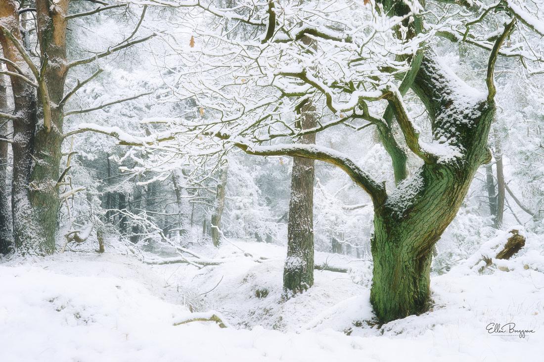 Little oak tree in white winter fairytale scene in a Dutch forest
