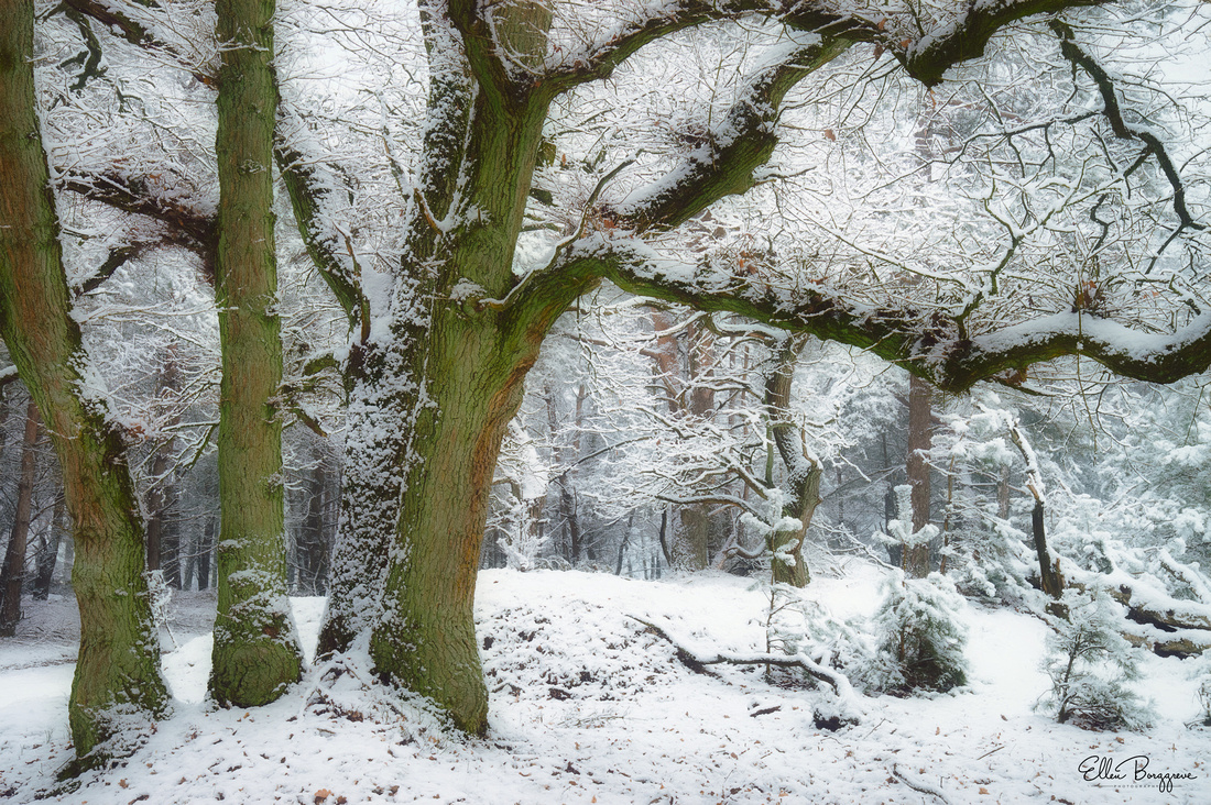 Three small oak trees with whimsical boughs in a winter wonderland landscape
