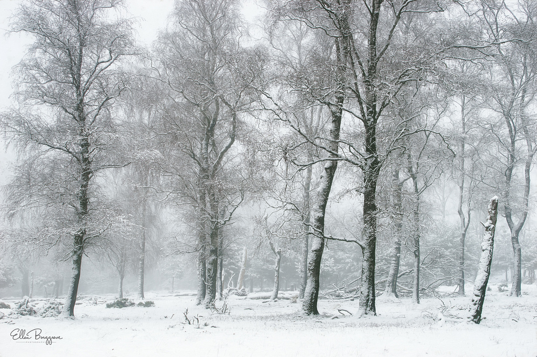 Silhouettes of birch trees in white foggy landscape of the moors of the Veluwe