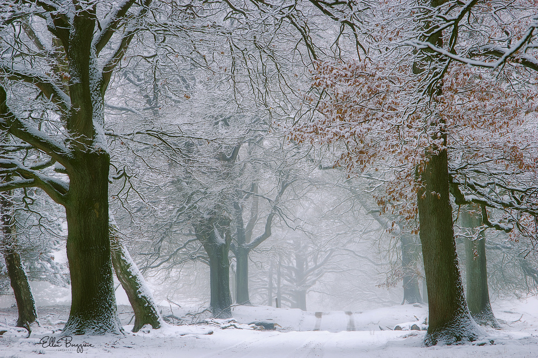 Enchanting winter landscape with a path lined by oak trees still showing shades of autumn through hoarfrost covered branches