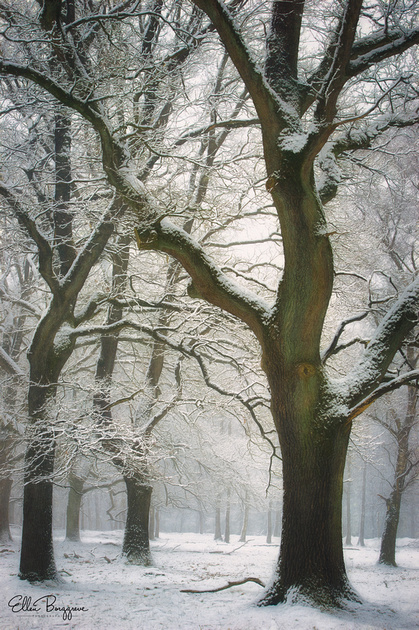 Oak trees forming an arch in a white winter wonderland scene on the moors of The Veluwe, The Netherlands