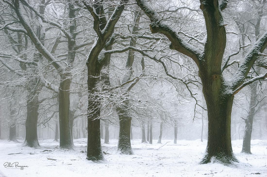 Arch formed by oak trees in winter landscape