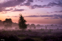 Purple galore of a sunrise over the blooming moor