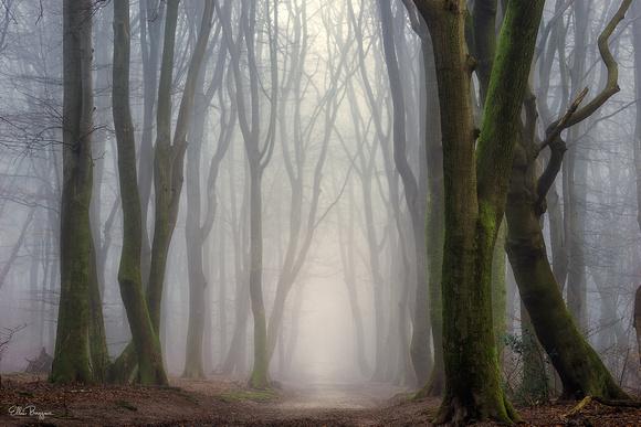 Dancing beech trees in the Speulderbos, The Netherlands