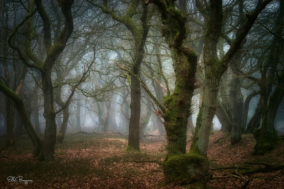 Oak trees on a cold foggy morning