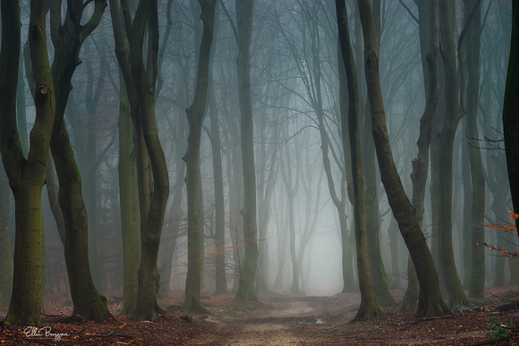 Beech trees in a foggy forest