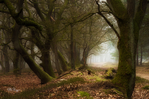 Oak Trees In Foggy Forest