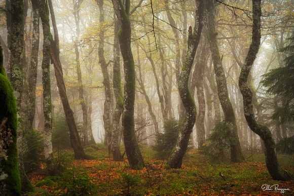 Trees in a foggy autumn mountain forest in France