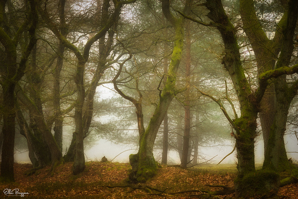 Whimsical oak trees in a foggy forest