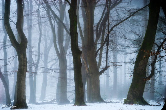 Dancing trees in a Dutch winter forest